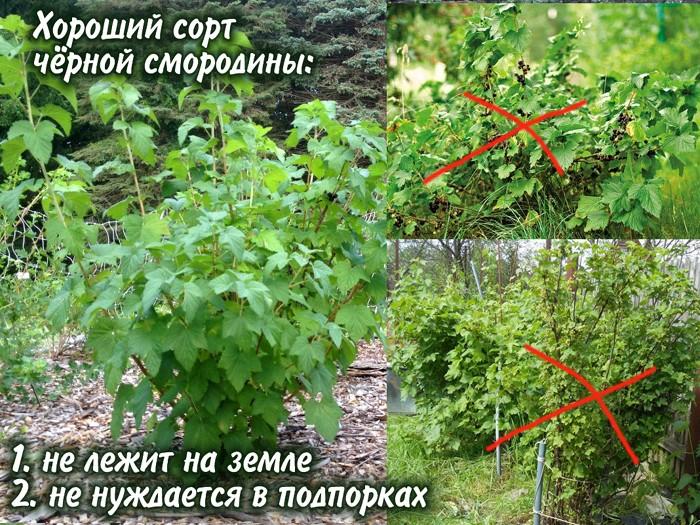 Чёрная смородина сорта с прямыми и полегающими стеблями