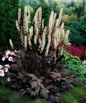Actaea hybr 'Hillside Black Beauty'