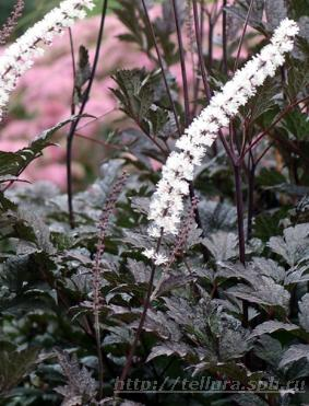 Actaea 'Chocoholic'