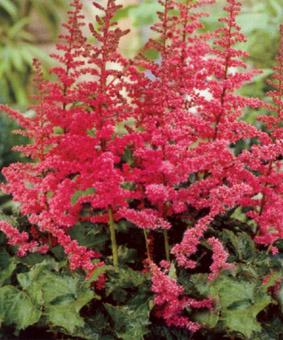 Astilbe chinensis 'Alive and Kicking'