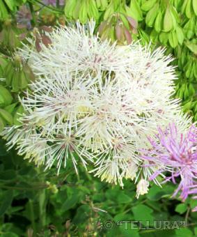 Thalictrum aquilegiafolium 'Album'