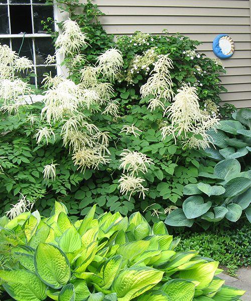 Aruncus dioicus garden design фото
