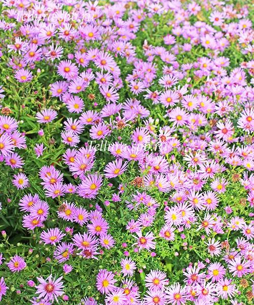 Aster dumosus Rosenwichten фото во время цветения