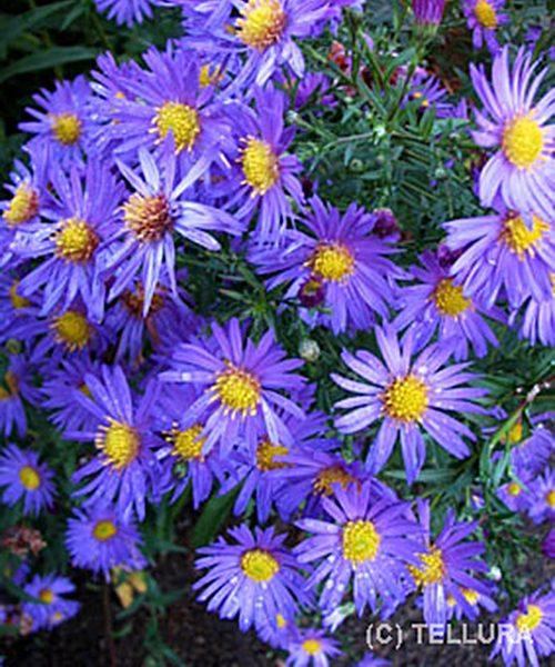 Aster novi-belgii Blue Gem - фото цветущего растения