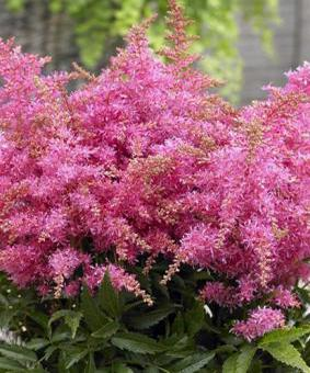 Astilbe hybr. 'Raspberry Short n' Sweet'