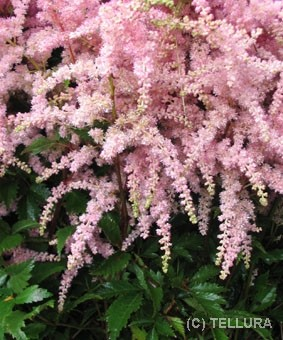 astilbe_arendsii_bressingham_beauty фото