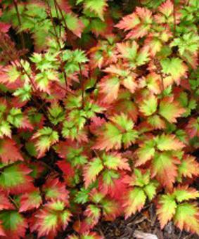 Astilbe chinensis 'Color Flash'