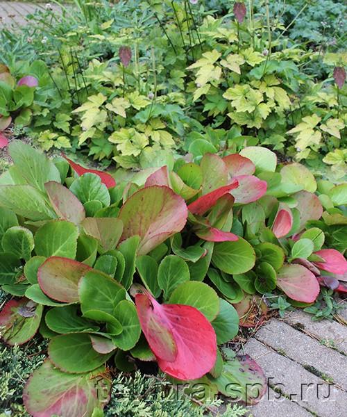 Бадан (Бергения) Беби Долл фото с оченней окраской листев