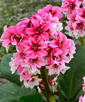 Bergenia x hybrida 'Dragonfly Sakura'
