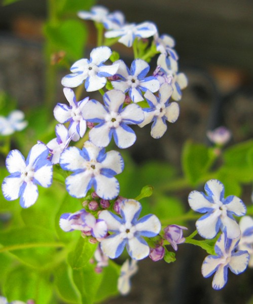 Brunnera macrophyla Jennifer фото цветов крупным планом