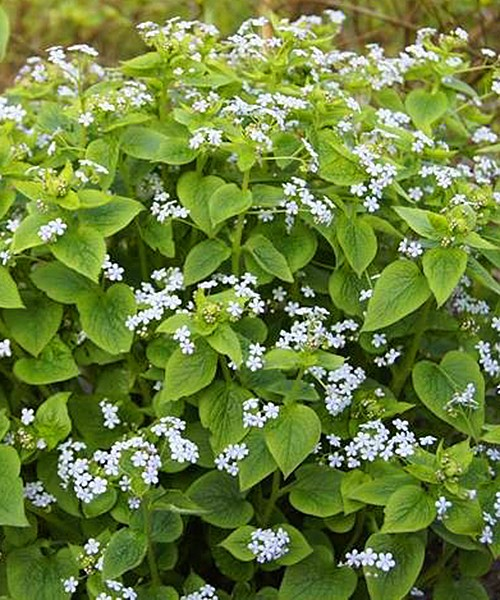 Brunnera macrophyla Jennifer фото цветущих растений
