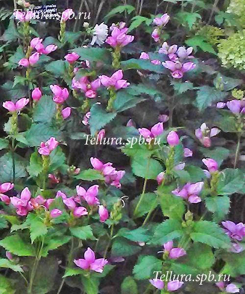 Сhelone obliqua цветение фото