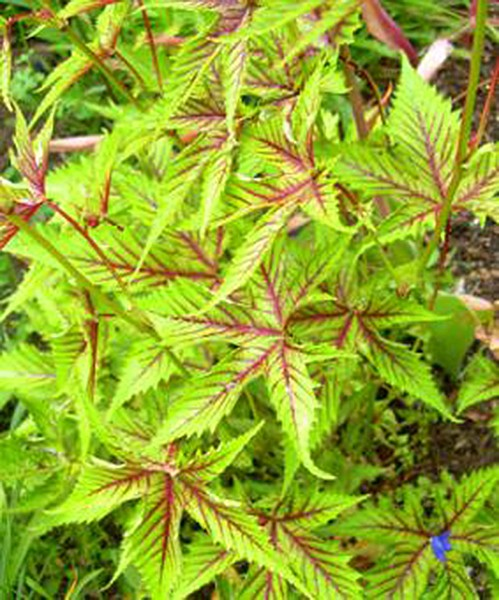 Filipendula Red Umbrella