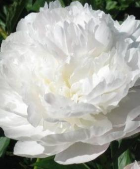 Paeonia 'Couronne d'Or'