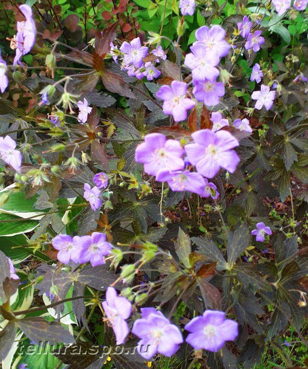 Герань Элизабет Энн фото цветущих кустов