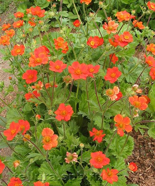 Гравилат Борисии фото цветущих растений