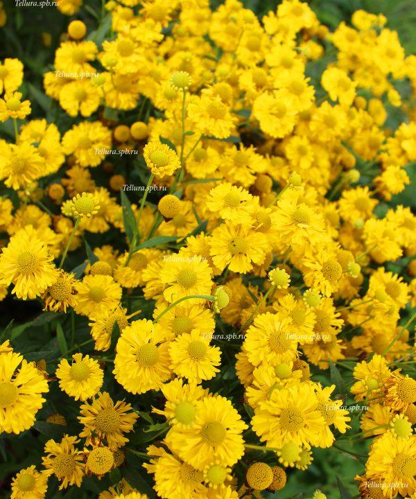 Helenium Double Trouble общий вид цветущих растений
