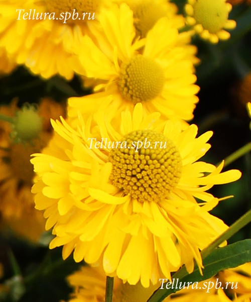 Helenium Double Trouble крупное фото цветка