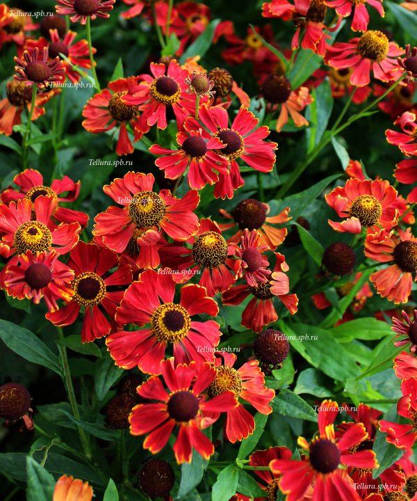 Helenium Potter Wheels фото массового цветения в питомнике Теллура-Лужайка