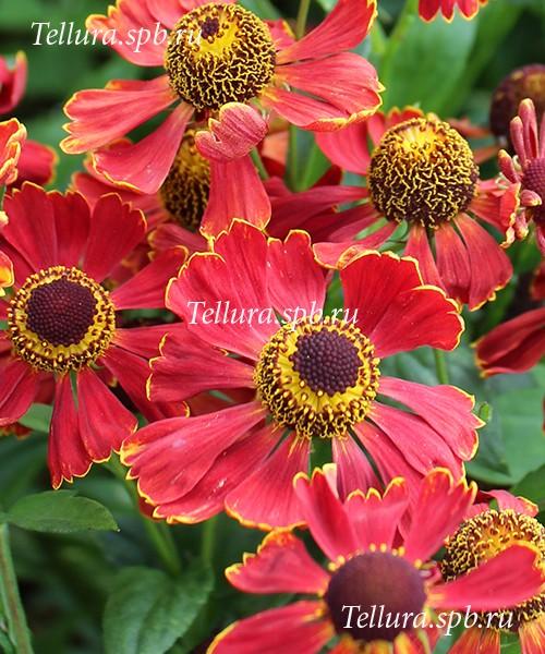 Helenium Potter Wheels фото цветков крупным планом