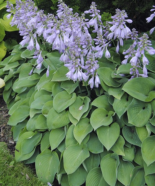 Hosta Blue Cadet фото цветущей группы растений