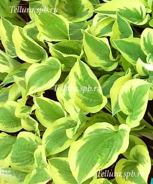 Hosta Mildred Seaver фото молодых растений