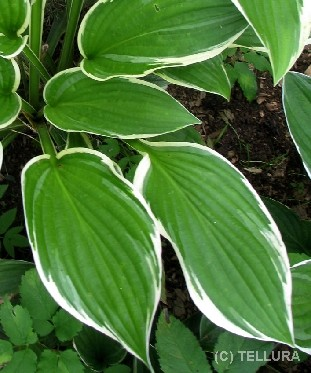 Hosta 'Green Gold'