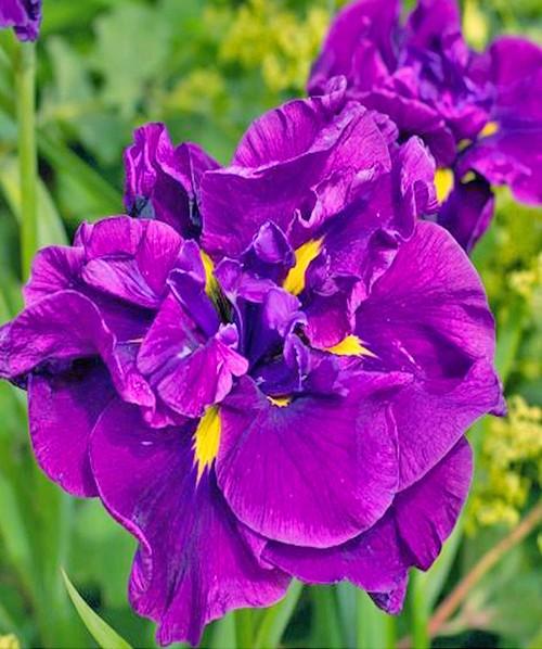 Iris ensata Eileen's Dreams фото цветка