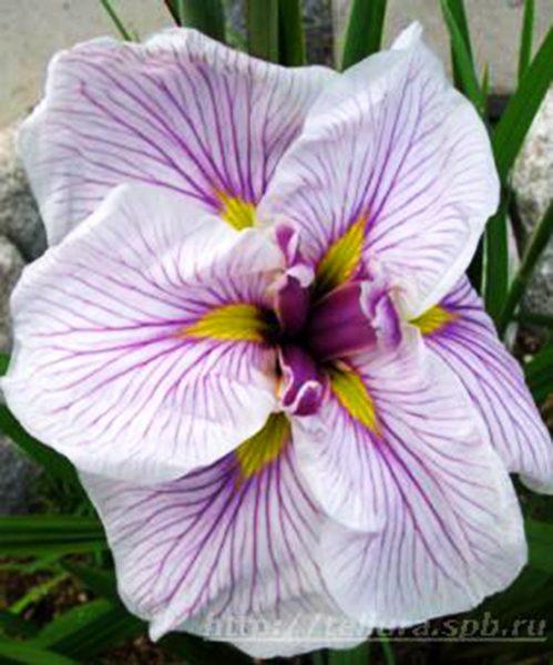 Iris ensata Greywoods Catrina фото цветка