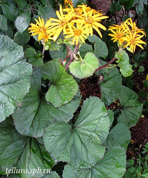 Ligularia dentata Desdemona фото растения