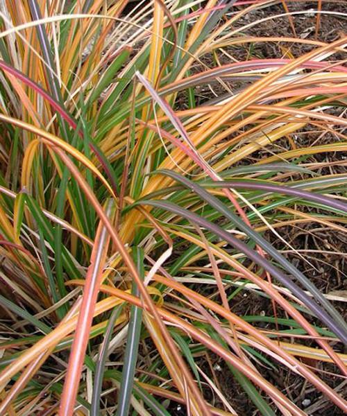 Miscanthus Adagio фото осенней окраски листьев