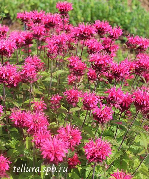 Monarda Pink Lace фото цветущих растений