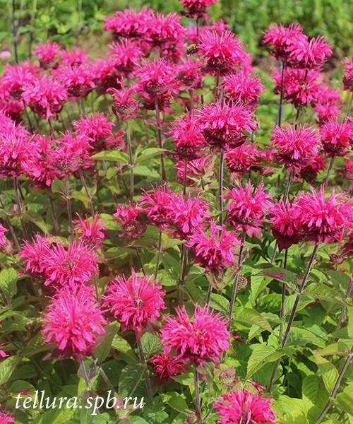 Monarda Pink Lace фото растений во время цветения