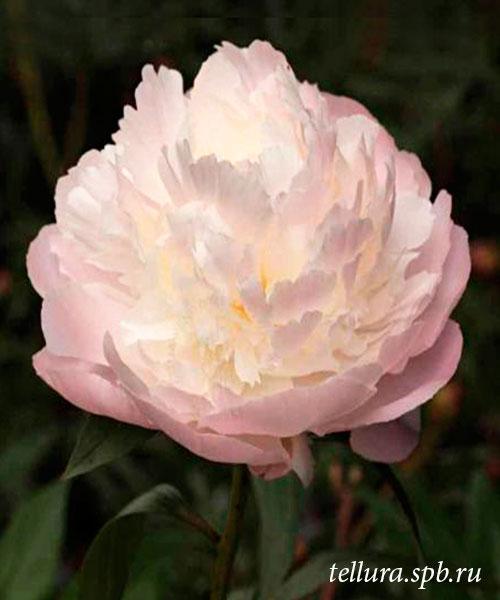 Пион Fairy's Petticoat фото цветка