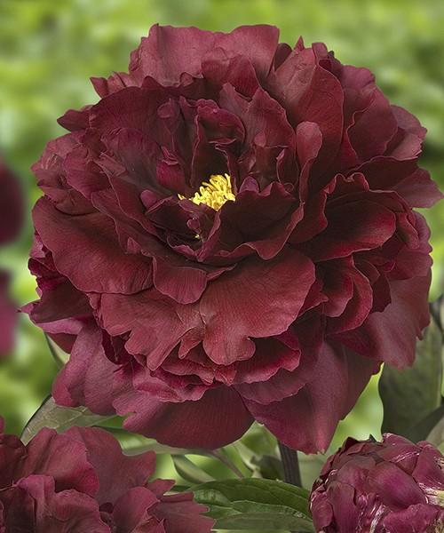 Paeonia Black Beauty фото цветка в полном роспуске