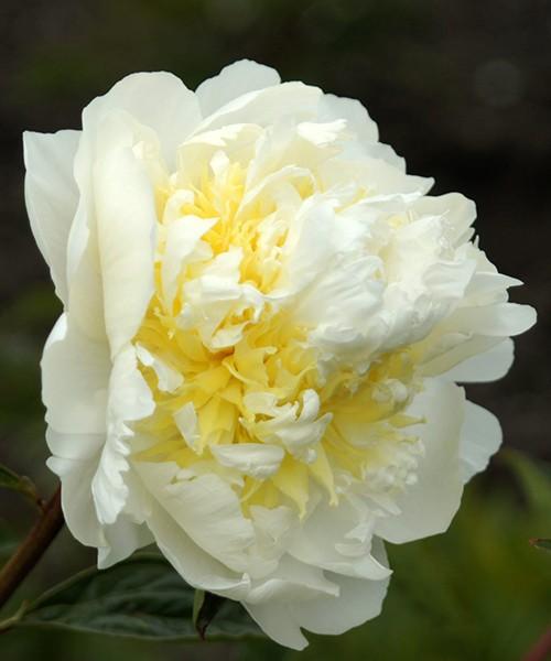 Paeonia lactiflora Cheddar Chease фото цветка крупным планом