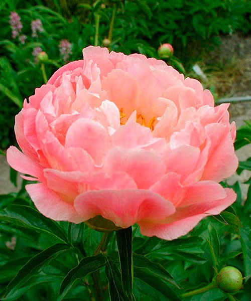 Paeonia Coral Sunset фото цветка