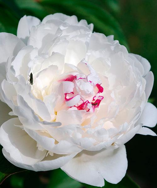 """Пион Couronne d""""Or цветок в полуроспуске фото"""