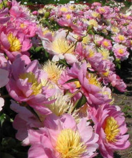 Пион Ниппон Голд фото массовое цветение