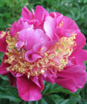 Paeonia 'Feather Top'