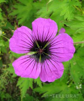 Geranium psilostemon фото