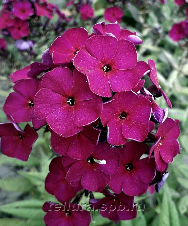 Флокс Ники фото цветка