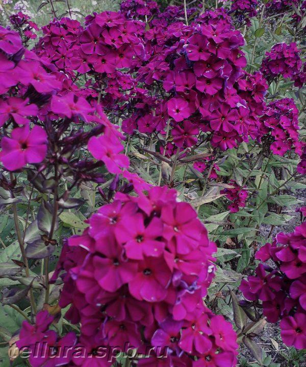 Флокс Ники во время цветения фото