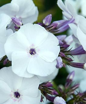 Phlox paniculata 'Blue Ice'