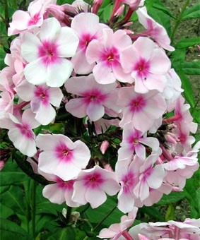 Phlox paniculata 'Miss Holland'