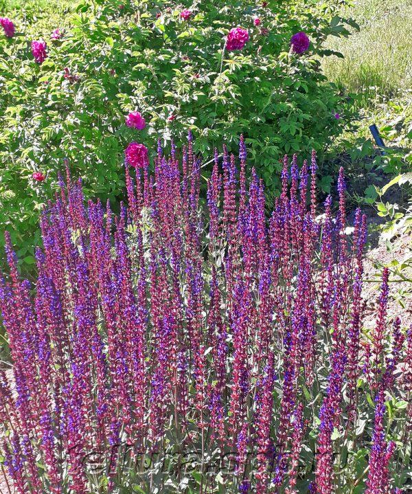 Цветущие кусты шалфея Карадонна на фоне морозостойкой розы Ханса