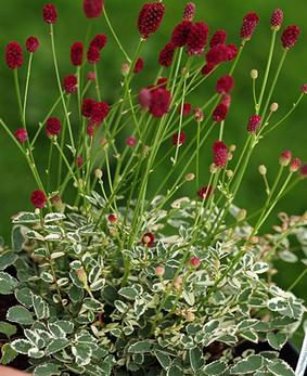 Sanguisorba obtusa 'Little Angel'