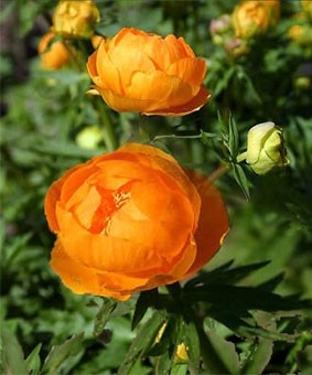 Trollius europaeus 'Orange Princess'