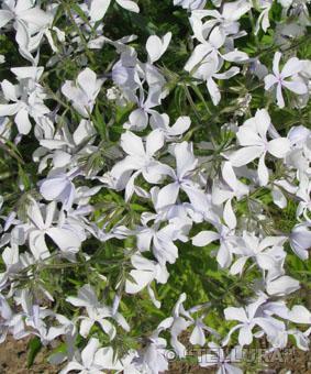 Phlox divaricata 'White Perfume'