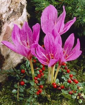 Colchicum 'Violet Queen'